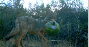 coyote watermelon_1